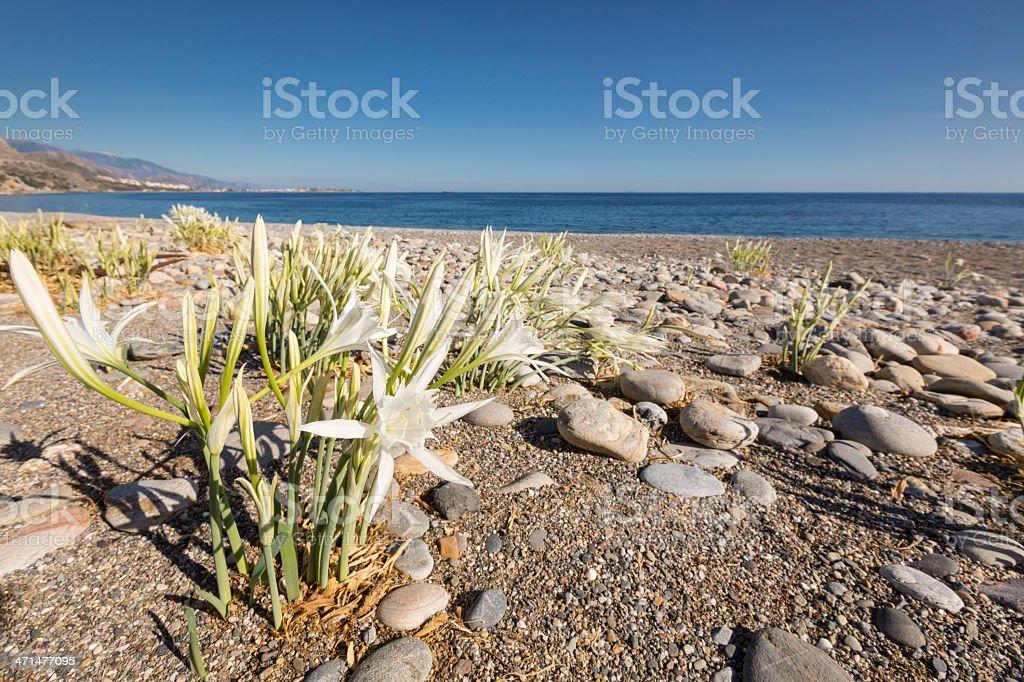 Sea Daffodil, Crete stock photo