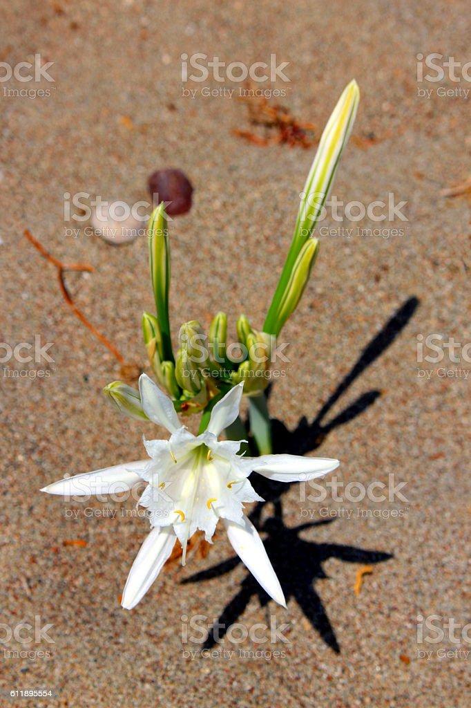 Sea Daffodil in sand. Pancratium maritimum. stock photo