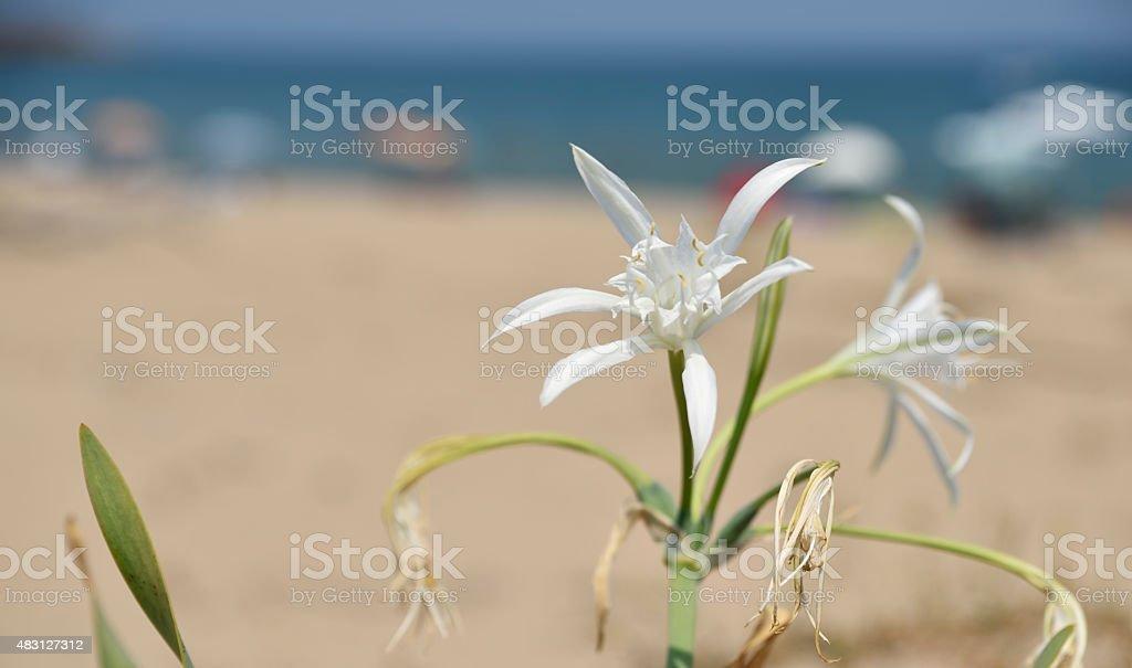 Sea daffodil in the sands of Arkutino beach, Bulgaria stock photo