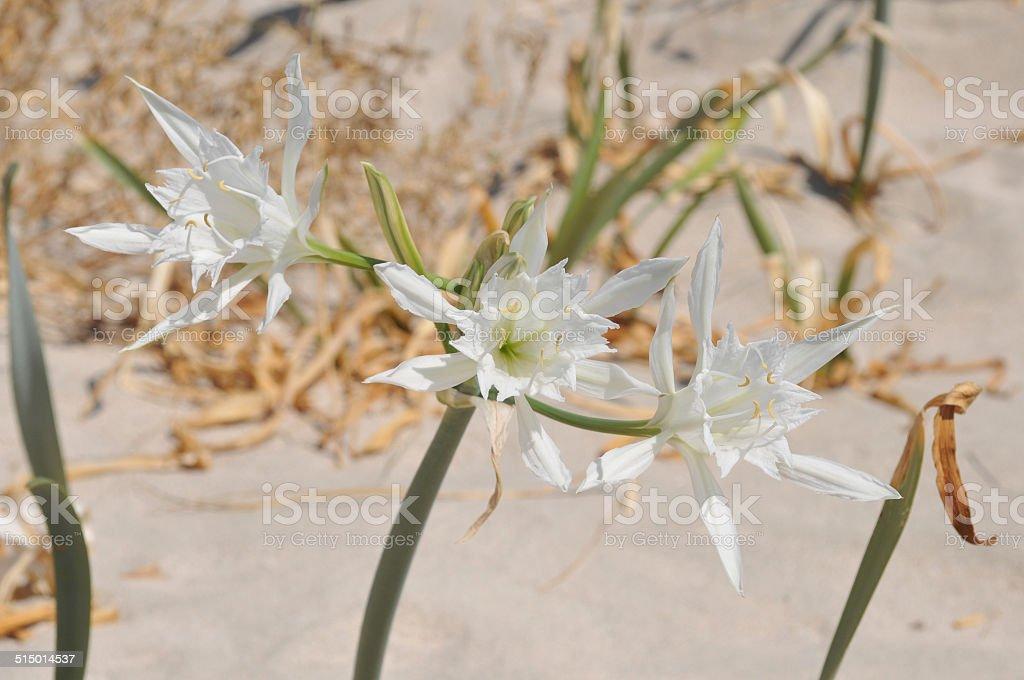 Sea daffodils stock photo