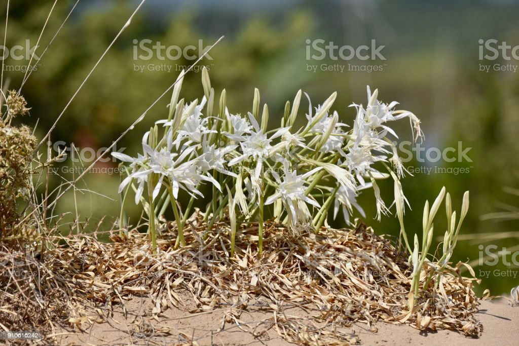 Sea Daffodils (Pancratium maritimum) stock photo