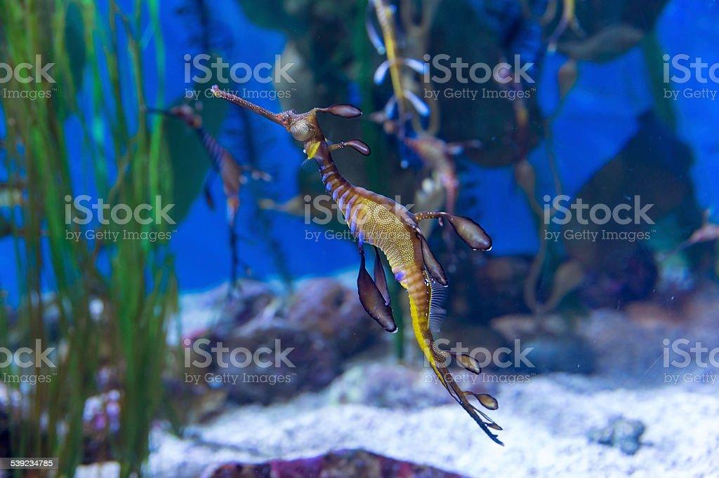 Dragón de mar foto de stock libre de derechos