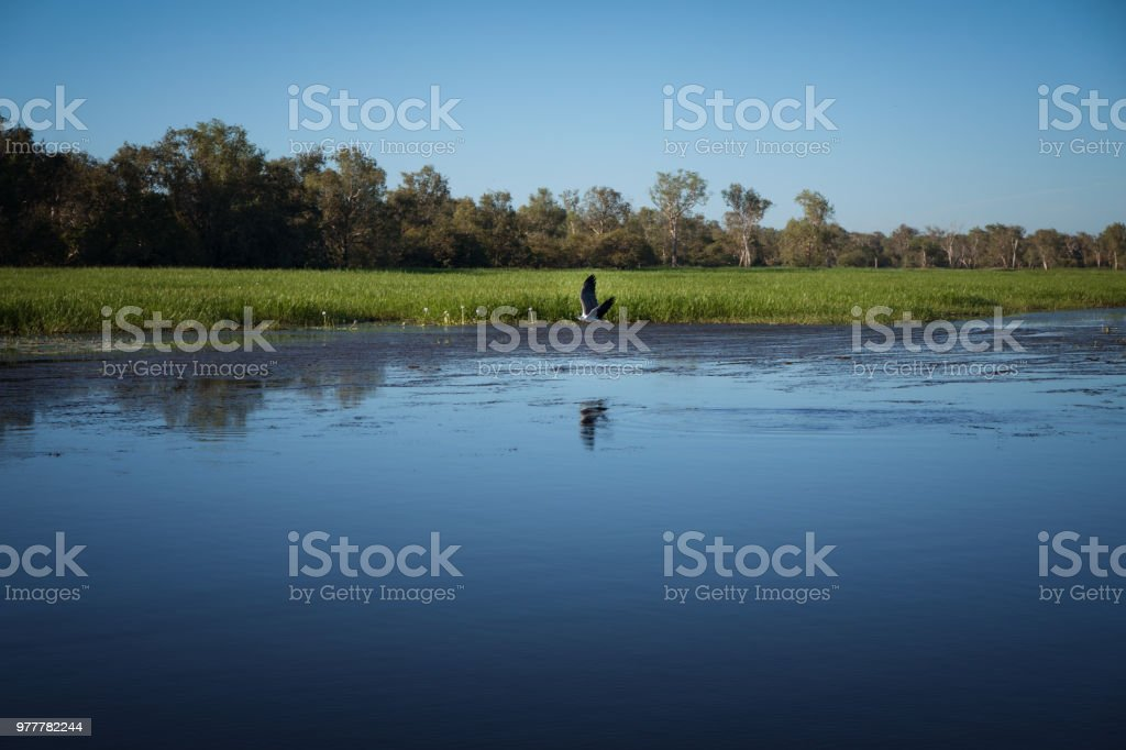 Sea Eagle catching fish in billabong stock photo