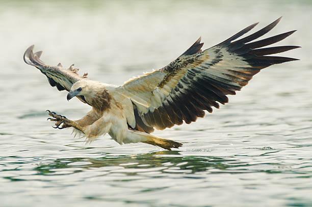 sea eagle hunting stock photo