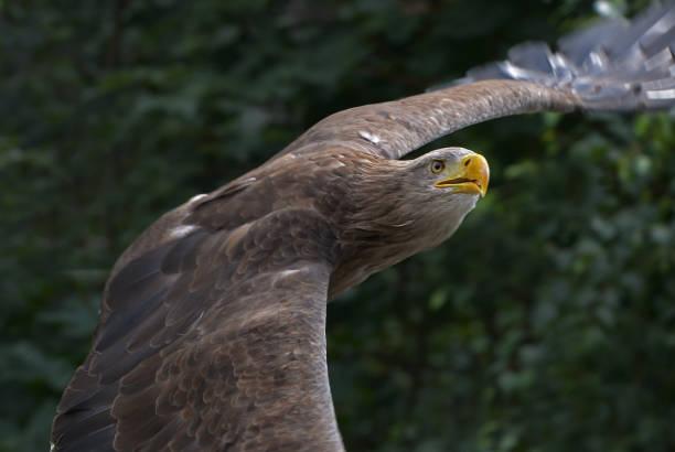 Seeadler im Flug – Foto