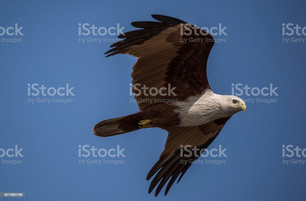 Sea Eagle in Flight stock photo