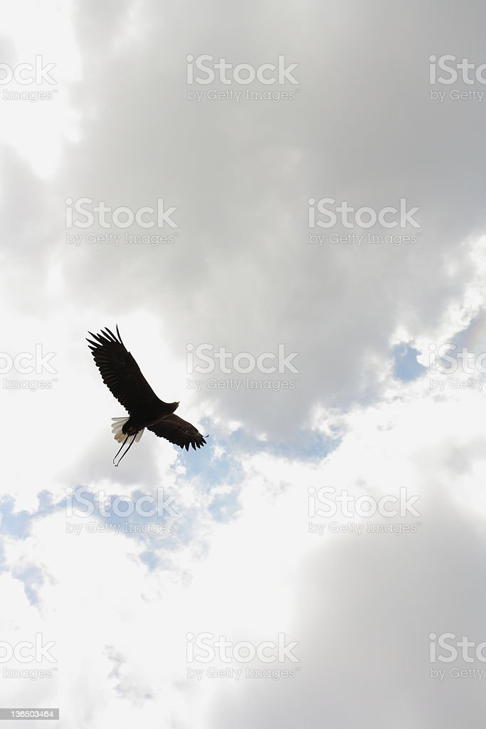 Sea Eagle In The Sky Royalty Free Stock Photo