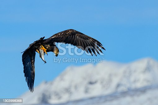 White-tailed eagle or sea eagle (Haliaeetus albicilla, also called erne or ern) hunting in the sky over a Fjord near Vesteralen island in Northern Norway with snowy mountains in the background. The eagle is holding a fish in its claws.