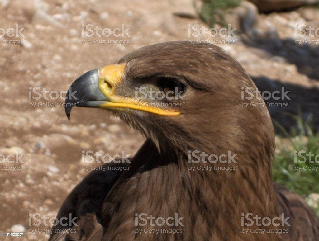 Sea Eagle royalty-free stock photo