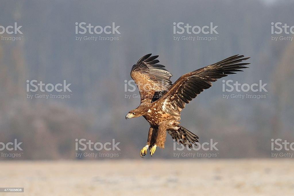 Sea Eagle (Haliaeetus albicilla) stock photo