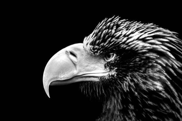 sea eagle portrait in black and white - carnivora stock photos and pictures
