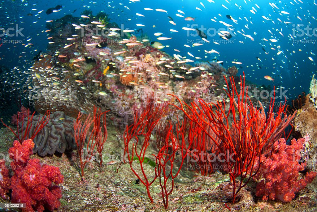 Sea Fan in North Andaman, Thailand stock photo