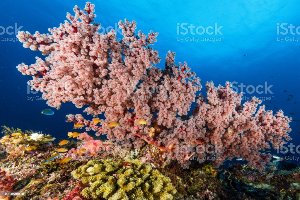 sea fan or gorgonian on the slope of a coral reef with visible water surface and fish stock photo