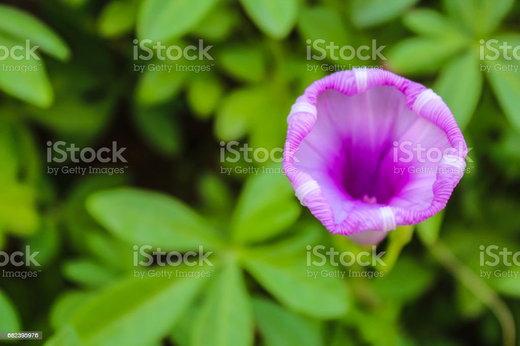 sea glory flower royalty-free stock photo
