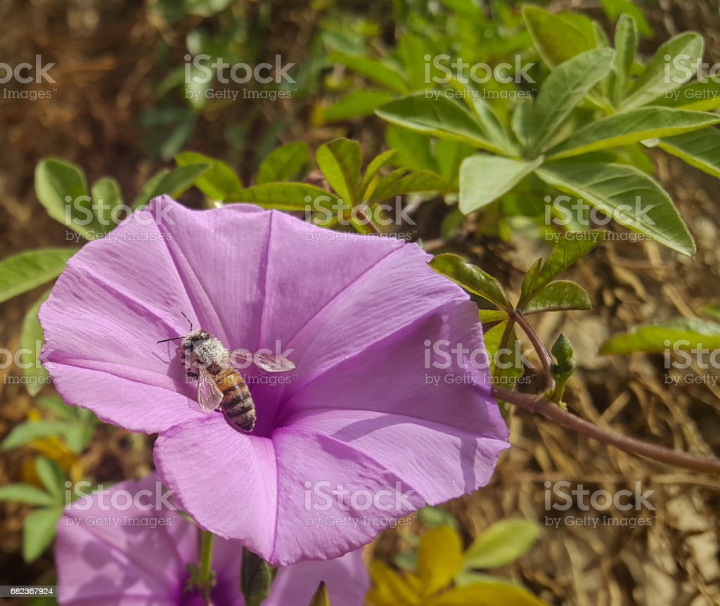 sea glory flower with a bee foto stock royalty-free