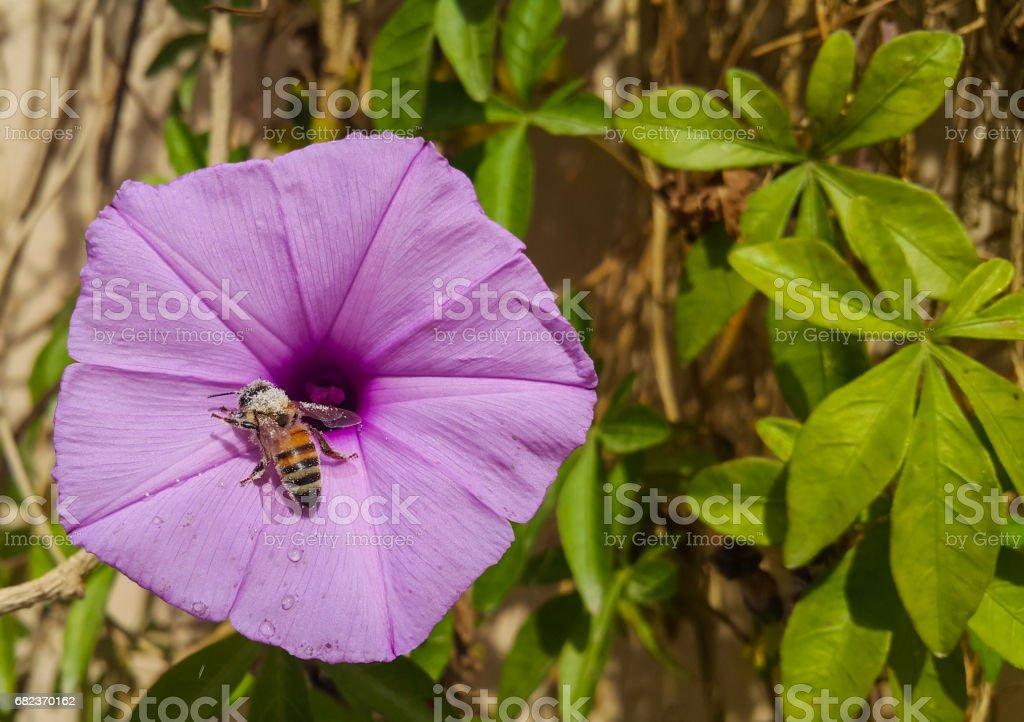 sea glory flower with a bee zbiór zdjęć royalty-free