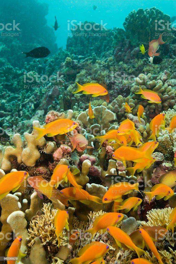 바다빛 goldies royalty-free 스톡 사진