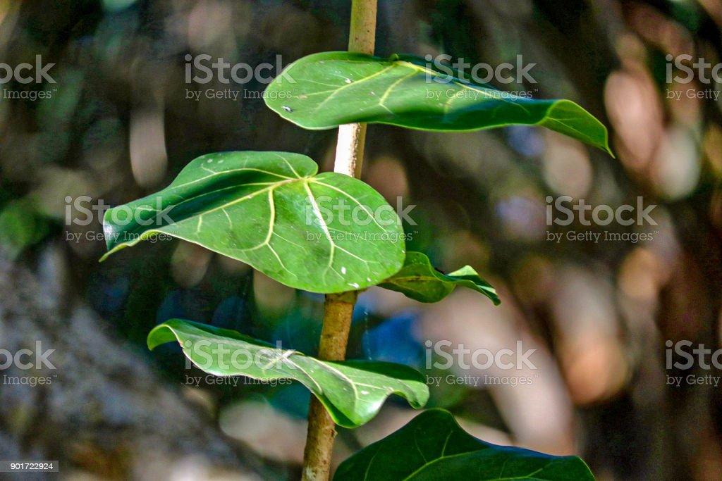 Sea Grape Leaves in Sanibel stock photo