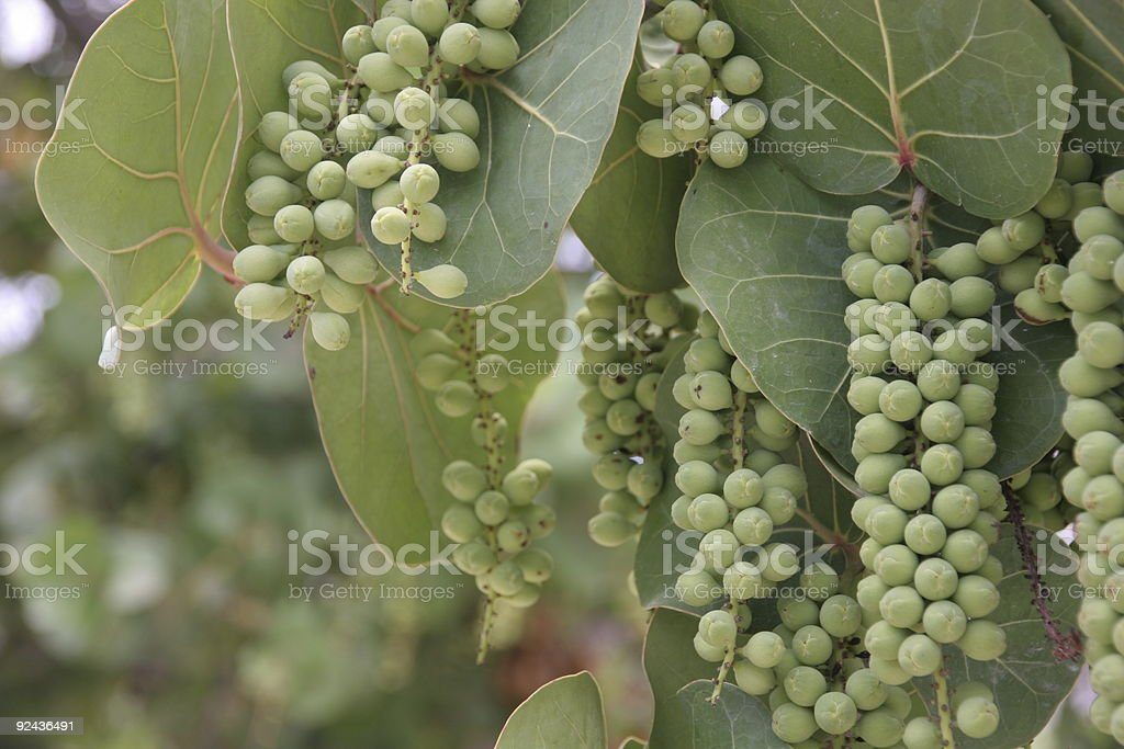 Sea Grape Tree - Leaves and berries royalty-free stock photo