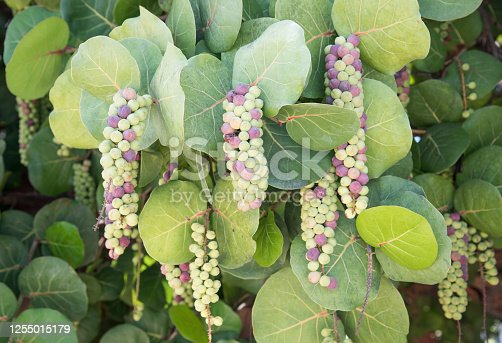 Closeup of purple and green hanging sea grapes with lush foliage in tropical St. Croix, USVI