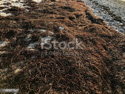 Sea grass or eel grass drying in the evening sun on a beach.