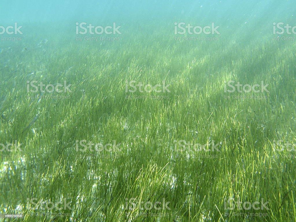 Sea Grass in Florida's Gulf of Mexico stock photo