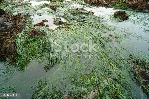 Sea Grass Lying Flat From Low Tide Stock Photo & More Pictures of Aquatic Organism