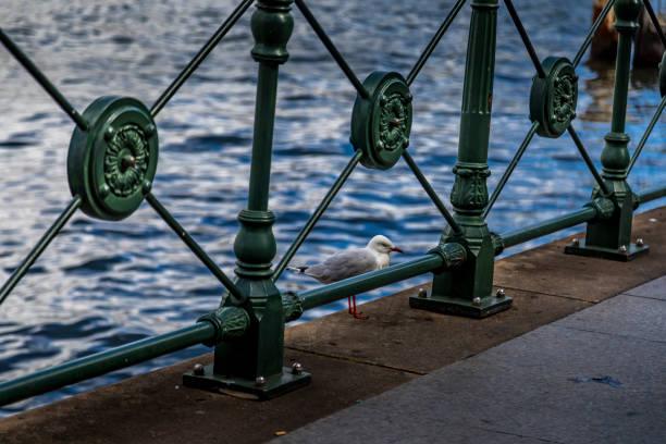 Möwevogel in einem kleinen Park nicht weit vom Opernhaus in Sydney, New South Wales, Australien an einem heißen und sonnigen Tag. – Foto