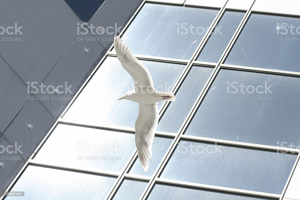 sea gull flying outside of a office building royalty-free stock photo