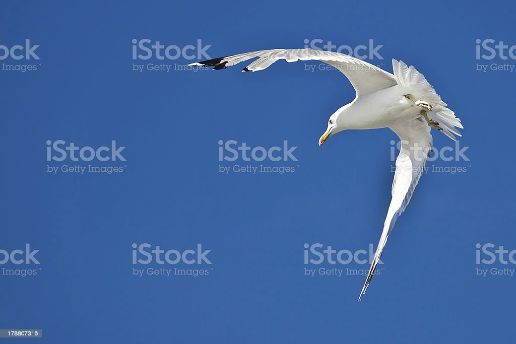 Sea gull flying with blue sky in background royalty-free stock photo