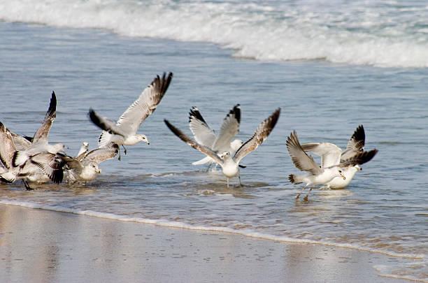sea gull frenzy stock photo