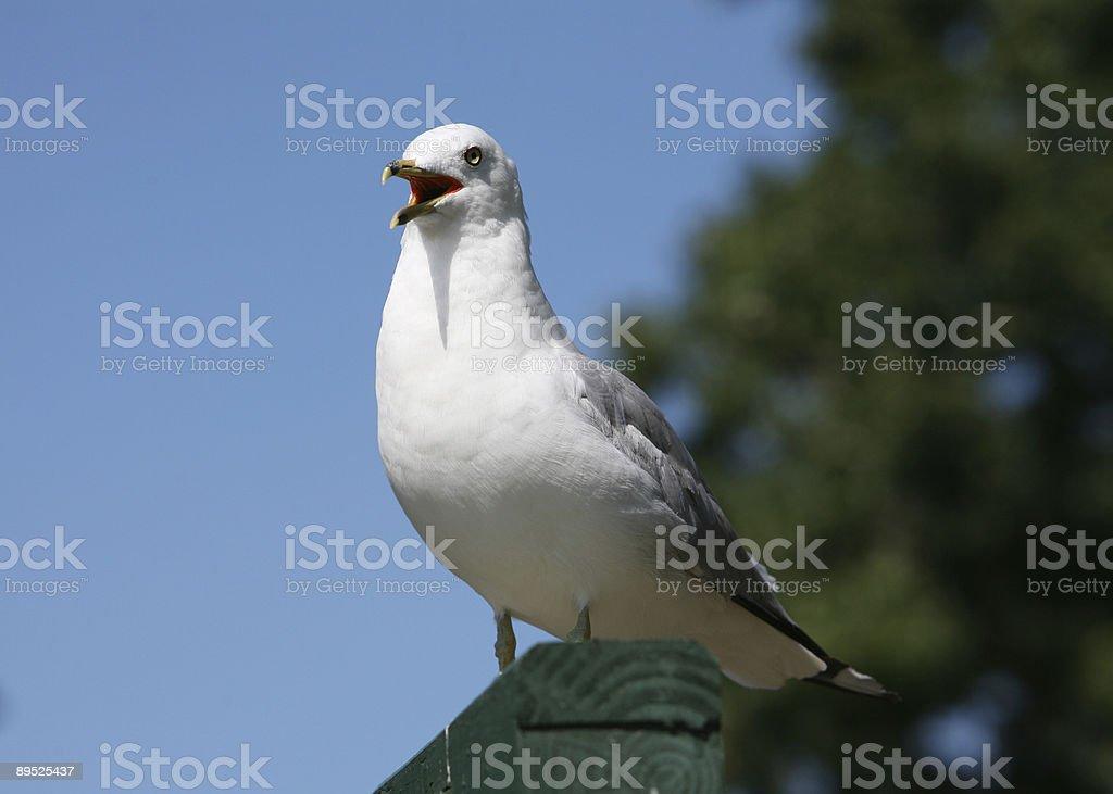 sea gull royalty-free stock photo