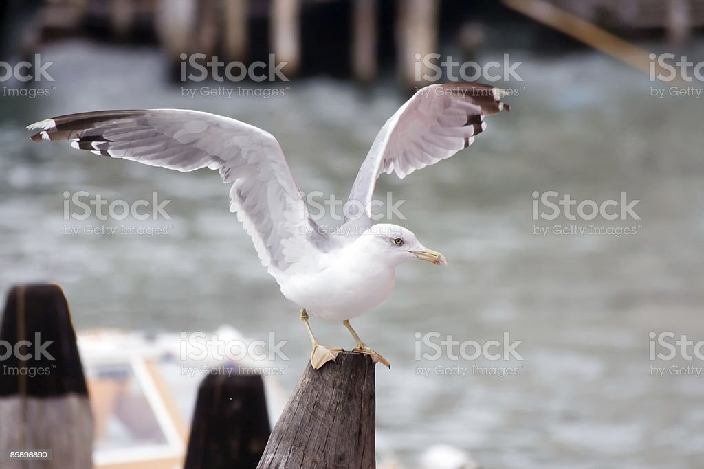 Sea Gull royalty-free stock photo