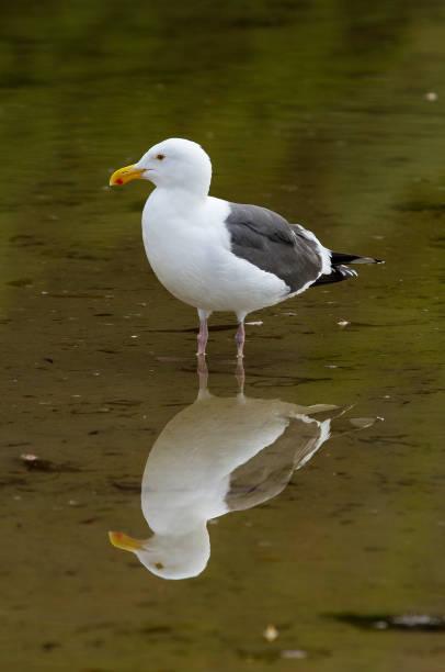 Sea Gull Reflection stock photo