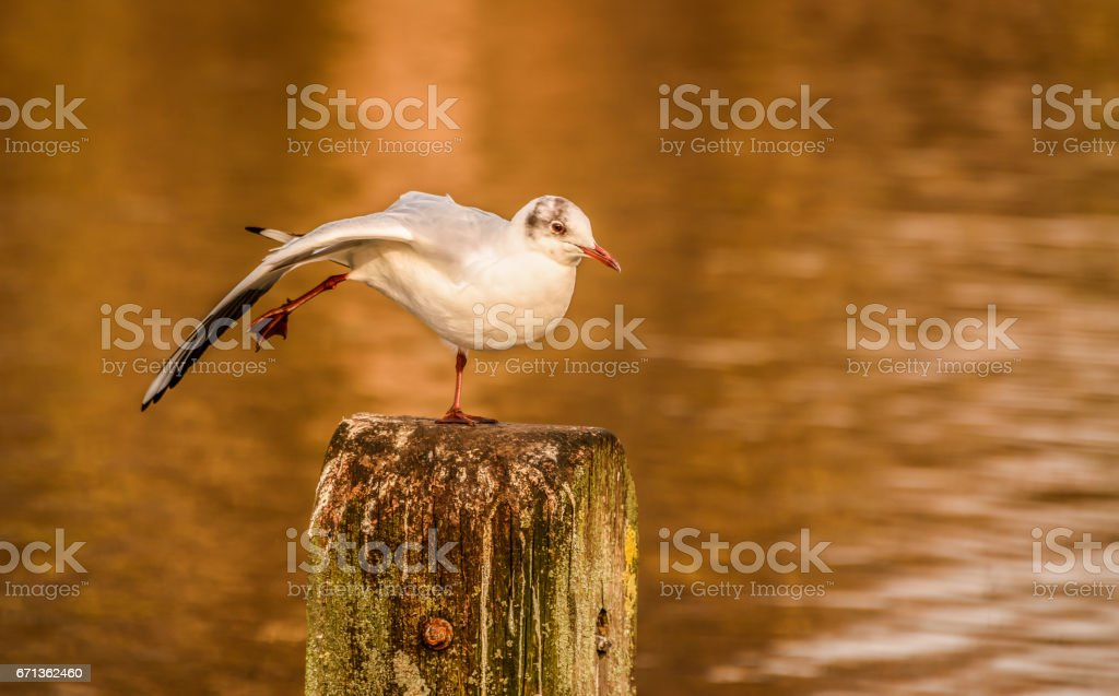 Sea gull standing on one leg on a post in a pond