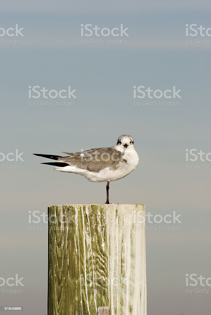Sea Gull Standing on One Leg  Piling 197 royalty-free stock photo