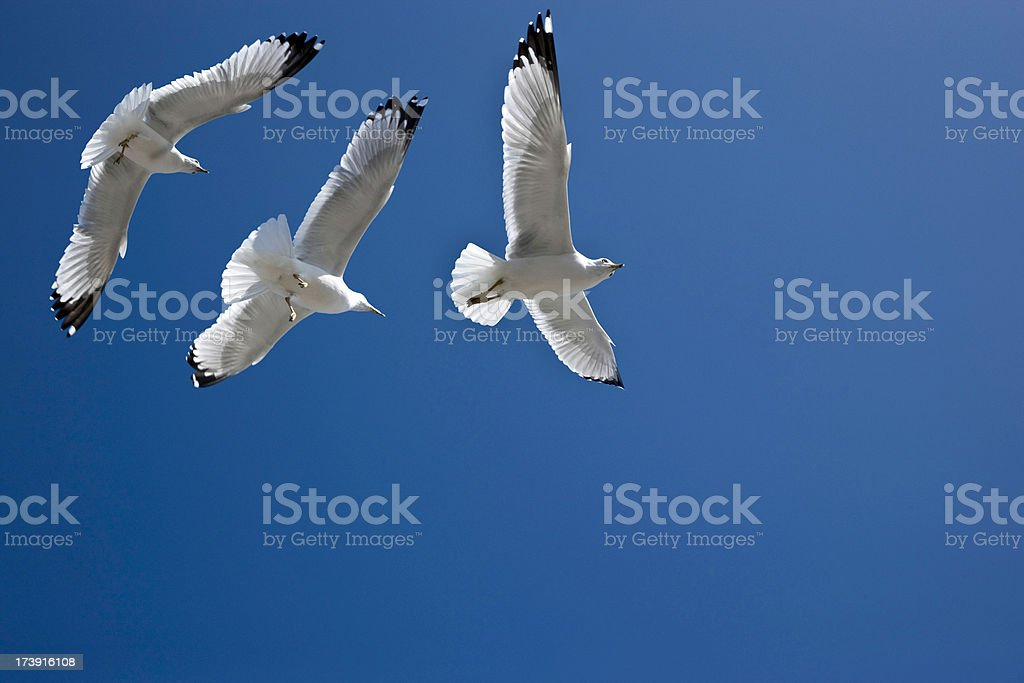 Sea gulls flying in blue sky royalty-free stock photo