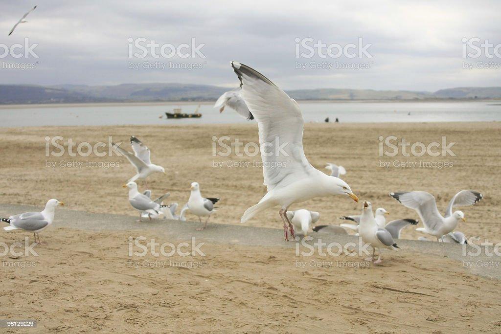 바다빛 Gulls royalty-free 스톡 사진