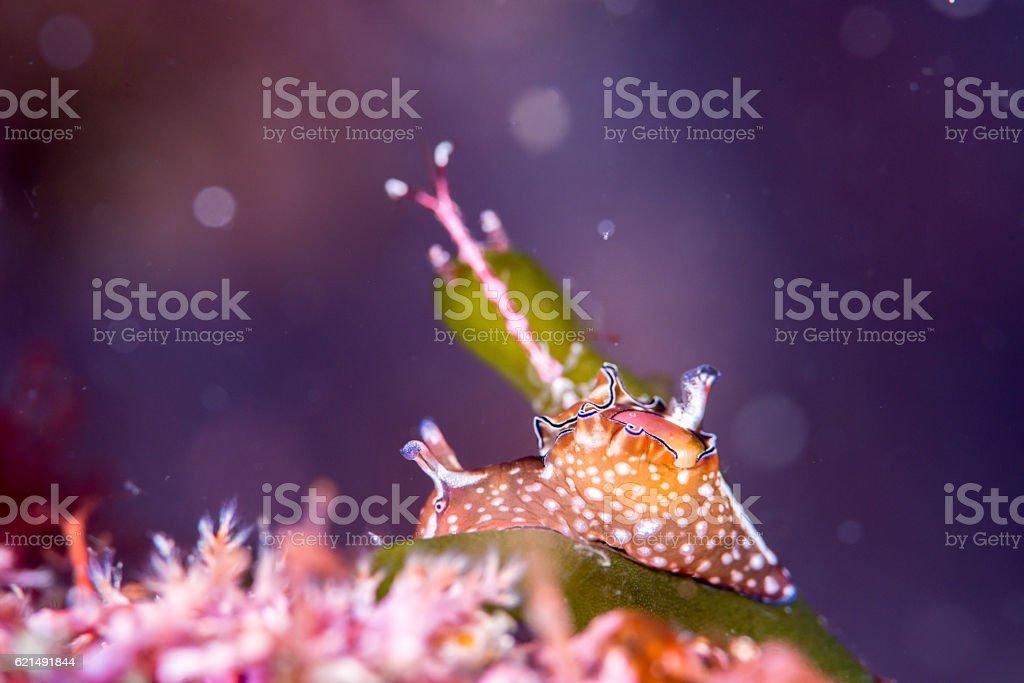 Sea'hare Lizenzfreies stock-foto