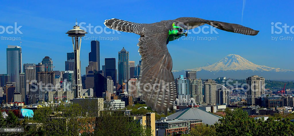Sea Hawk stock photo