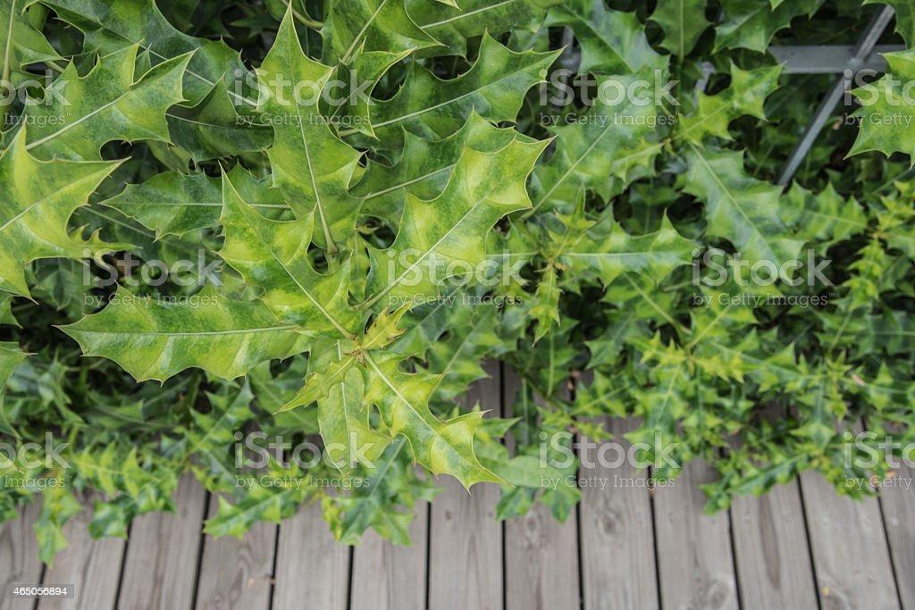 sea holly plant stock photo