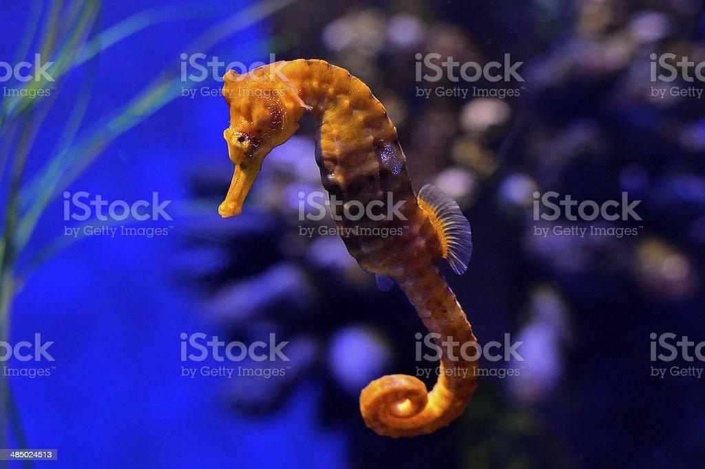 Sea Horse stock photo