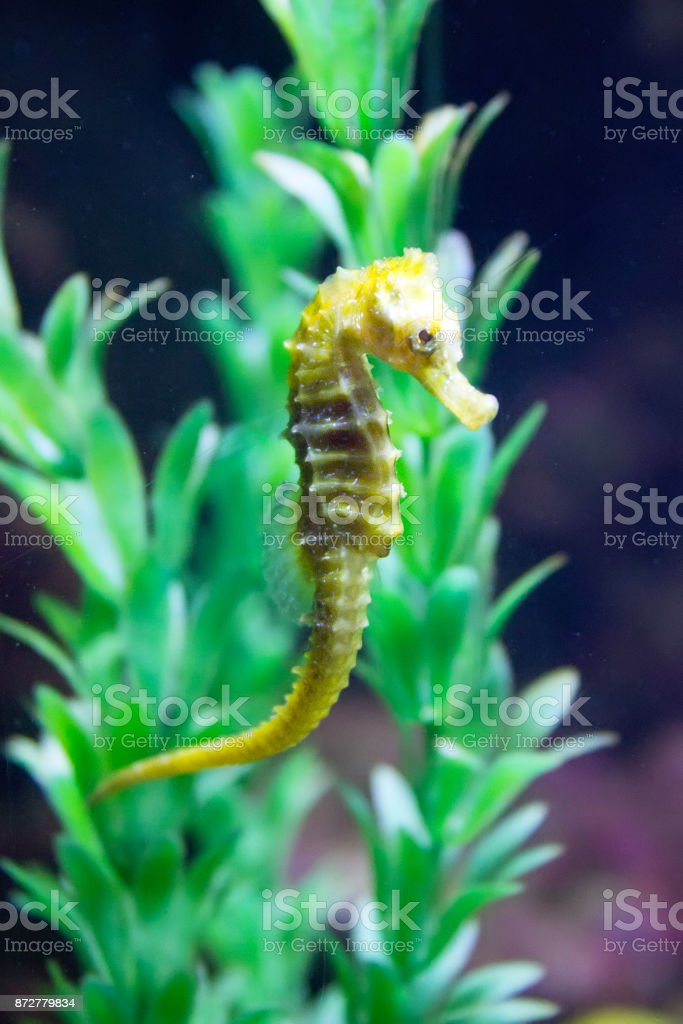 Sea Horse (Hippocampus hippocampus) stock photo