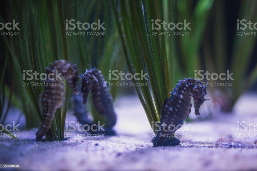 Sea horses at the bottom of the sea stock photo