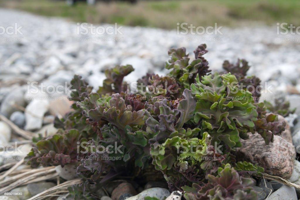 Sea kale stock photo