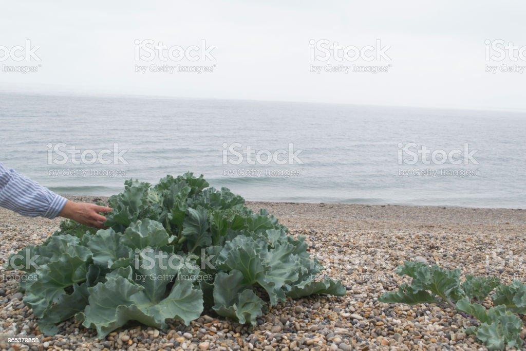 Sea Kale zbiór zdjęć royalty-free