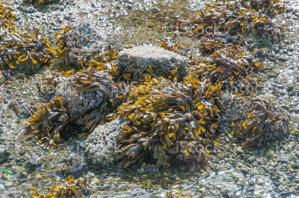 Sea Kelp stock photo
