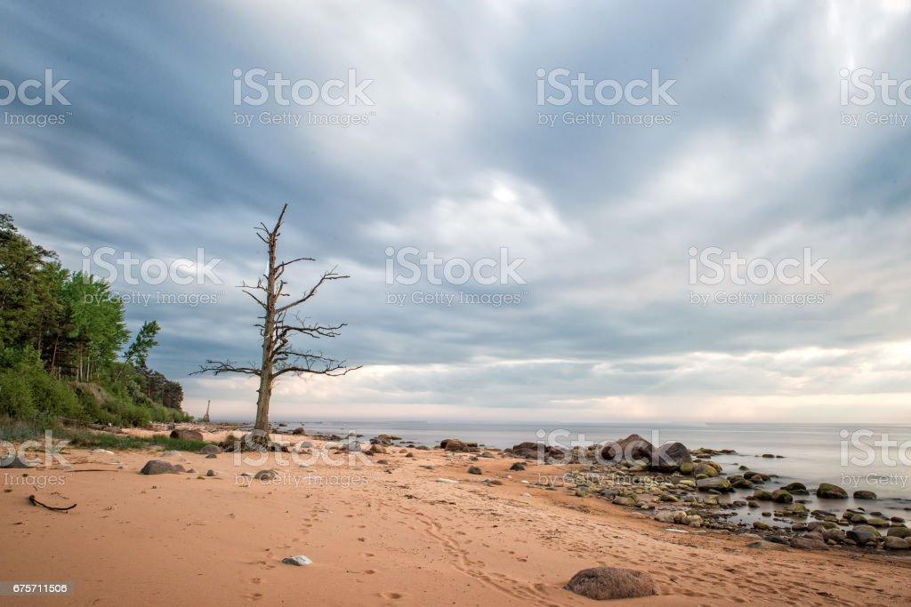 海景觀。孤獨,枯樹到達的石灘。 免版稅 stock photo