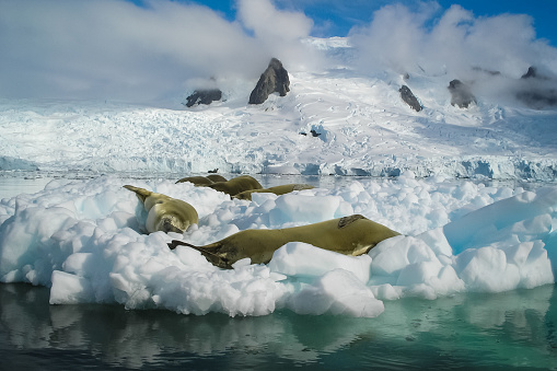 Sea leopard in Antarctica in its natural habitat.