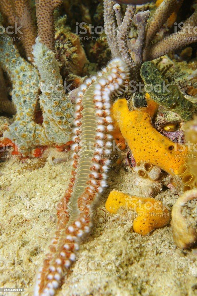 Sea life bearded fireworm marine bristleworm stock photo